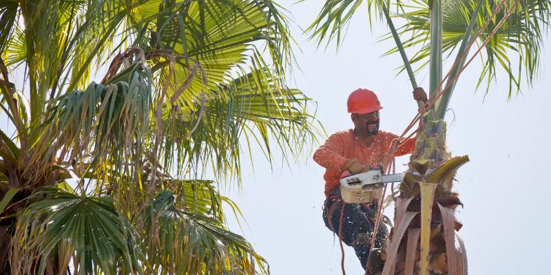 Professional gardener cutting a tall palm tree.