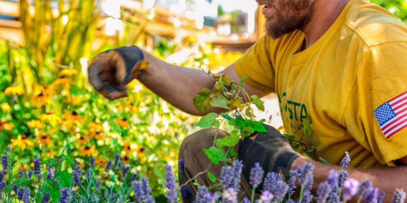 Gardener wearing an Augusta t-shirt plucking weeds from a yard.