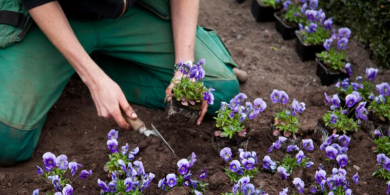 gardener planting flowers.